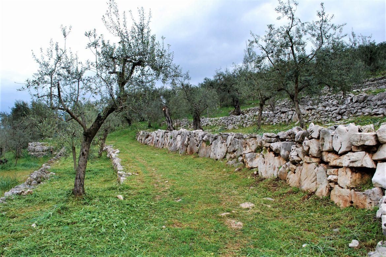 Gli oliveti terrazzati di Vallecorsa