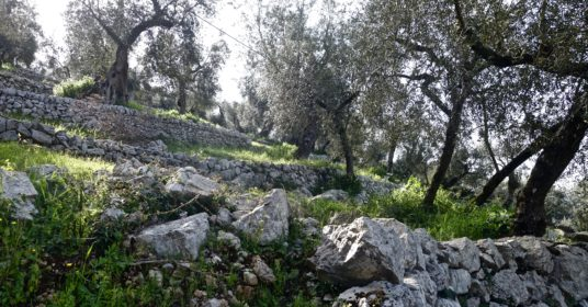Gli uliveti terrazzati di Vallecorsa